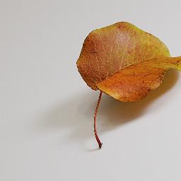 freetoedit fallseason leaf red shadow