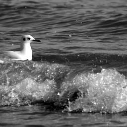beach blackandwhite bird nature