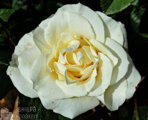 rose picsart love flower white