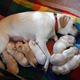 teo labrador labradorretriever puppies memories