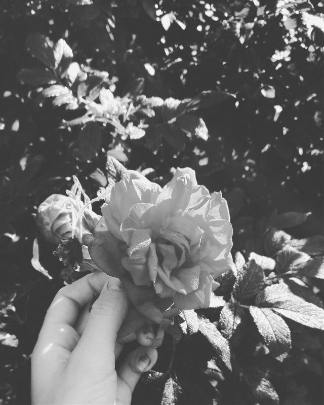 #blackandwhite  #rose  #hand  #FreeToEdit