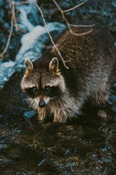 racoon animals outdoor wild photographer freetoedit