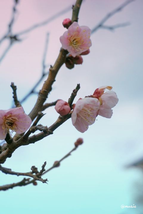 blossom photography gradienteffect springflower freetoedit