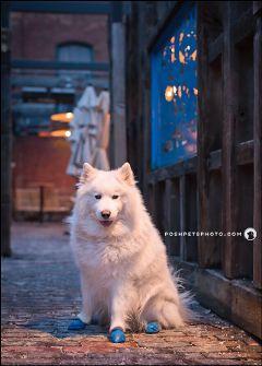 samoyed toronto dogportrait