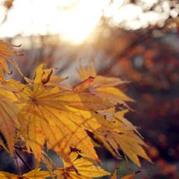 freetoedit nature sunset autumn leafes