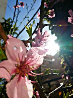 freetoedit spring flower pinkflo pinkflower