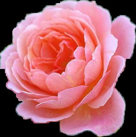 ##rose