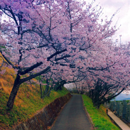 photography nature spring cherryblossomtrees pathway freetoedit
