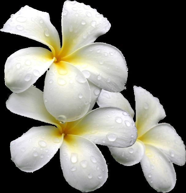 #flower #plumeria